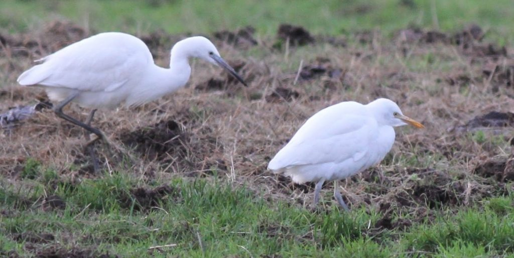 cattle egret (Steve Culley)