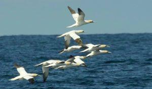 gannets (Derek Moore)