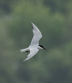 gull-billed tern (Peter Howlett)